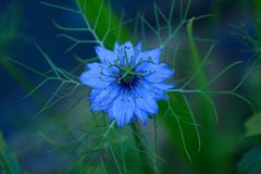 Eerie nigella flower Nigella sativa in evening light