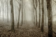 An eerie plantation of birch trees on a cold, foggy, winters day. With a vintage, sepia, grunge edit. stock image