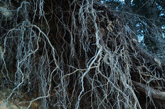 Eerie Roots Royalty Free Stock Images