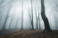 Eerie scene in a forest with fog. Eerie scene of a forest with blue fog stock photos