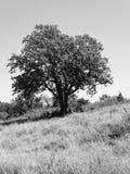 Eerie Tree Stock Photo