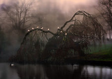 Eerie weeping willow tree in the fog. Birds sitting on eerie weeping willow tree in the fog stock photos