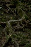 Eerie winding at the rock the root of the tree Royalty Free Stock Image
