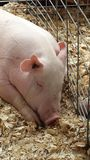 Eerlijk Varken Hij is één dan bacon! Royalty-vrije Stock Afbeeldingen
