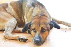 Eerlijke slaperige hond, stock afbeeldingen
