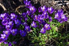Eerst blauwe, purpere krokussen in tuin stock afbeelding