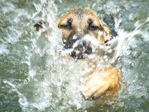 Eerst Onhandige de puppy zwemmen Royalty-vrije Stock Afbeelding