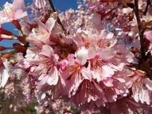 Eerst te bloeien om Bloesems in Washington DC Royalty-vrije Stock Foto