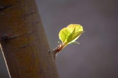 Eerste bladeren in de lente stock foto's