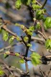 Eerste bladeren en knoppen op lindeboom stock afbeelding