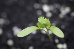 Eerste bladeren en spruiten van een Korianderinstallatie Stock Afbeeldingen