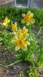 Eerste bloem Stock Foto's