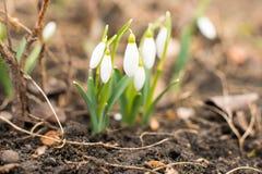 Eerste bloemen van de lentesneeuwklokjes royalty-vrije stock afbeelding