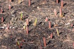 Eerste de lente rode en groene spruiten Stock Afbeeldingen