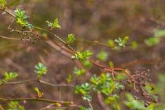 Eerste de lentebladeren op struiktakken stock fotografie