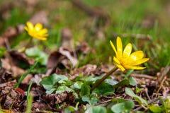 Eerste de lentebloemen Stock Fotografie