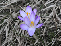 Eerste de lentebloemen - krokus Stock Foto