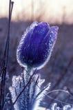 Eerste de lentebloemen, sneeuwklokjes in tuin Stock Fotografie