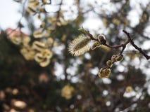 Eerste de lentebloesem op de boomtak royalty-vrije stock afbeelding