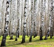 Eerste de lentegreens in zonnig de berkbosje van april royalty-vrije stock afbeeldingen