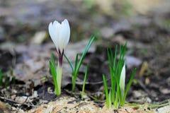 Eerste de lentesneeuwklokje Stock Afbeelding