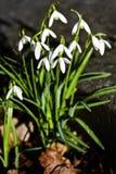 Eerste het bloeien sneeuwklokjes in zonneschijn Februari Stock Foto's