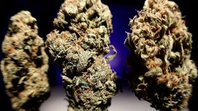 Eerste knoppen van geoogste medische marihuana stock videobeelden
