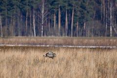 Eerste kraanvogel die vóór de lentetijd wordt gezien stock foto's