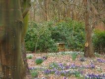 Eerste krokus in de lente Stock Foto
