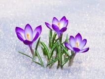 Eerste krokusbloemen Stock Foto's