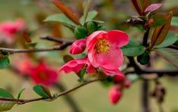 eerste roze en gele bloeiende bloemen en heldergroen royalty-vrije stock afbeelding