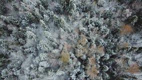 Eerste sneeuw in bos het gebied van Moskou landschap stock video
