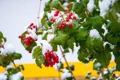 Eerste sneeuw en arrowwood rood Stock Afbeeldingen