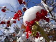 Eerste sneeuw op de bessen van viburnum op een Zonnige dag Stock Fotografie