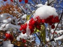 Eerste sneeuw op de bessen van viburnum op een Zonnige dag Royalty-vrije Stock Afbeelding