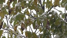 Eerste sneeuw op groene bladeren van bomen stock video