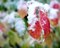 Eerste sneeuw op rode bladeren stock afbeeldingen