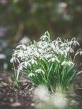 Eerste sneeuwklokjes op tuinbed, openlucht De bloemen van de lente Stock Foto's
