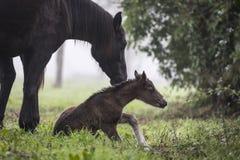 Eerste stappen van een pasgeboren veulen royalty-vrije stock afbeelding