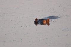Eerste stralen en een hippo Royalty-vrije Stock Afbeeldingen