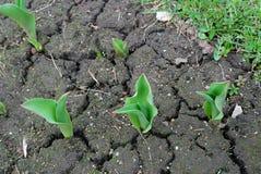 Eerste tekens van de lente De jonge tulpen groeien in een de lentetuin Stock Afbeeldingen