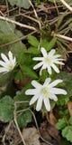 Eerste wegende bloemen stock foto's