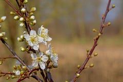 Eerste witte de lentebloesems, selectieve nadruk stock afbeelding