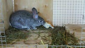 Eet de grijze chinchilla van het konijnras in een kooi in een kooi voedsel stock video