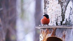 Eet de vogel mannelijke goudvink op het dak van de voeder zonnebloemzaden stock videobeelden