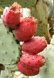 Eetbaar fruit van cactus stock foto's