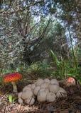 Eetbare en Giftige Paddestoelen samen in een dennenbos Stock Fotografie