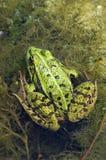 Eetbare kikker in moeras Stock Foto