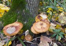 Eetbare mellea van paddestoelarmillaria Royalty-vrije Stock Afbeeldingen