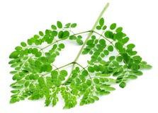 Eetbare moringa bladeren royalty-vrije stock foto